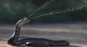 Veneno de las cobras escupidoras